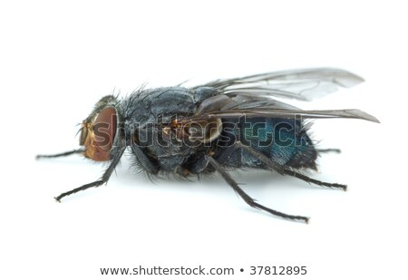 Big blue redhead fly (Calliphora vicina) Stock photo © digitalr