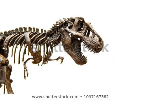 Szkielet kości czaszki dinozaur martwych starożytnych Zdjęcia stock © popaukropa