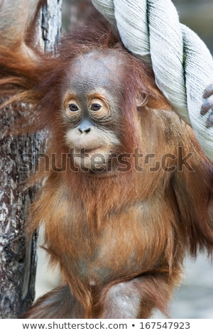 Stare of an orangutan baby, hanging on thick rope Stock photo © lightpoet