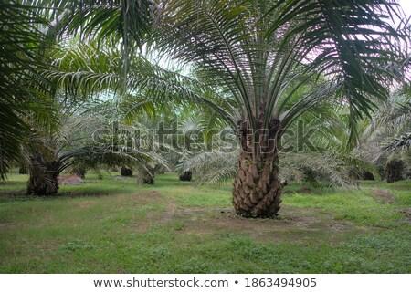 Óleo palma trabalhador envenenamento natureza campo Foto stock © szefei