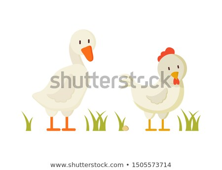 Goose and Chicken Pair of White Domestic Birds Stock photo © robuart