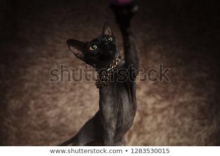 close up of adorable metis cat wearing golden collar Stock photo © feedough