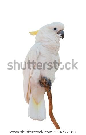 Bird White Cockatoo Perch Stock photo © lenm