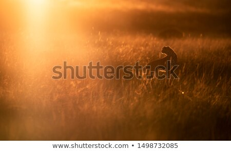 a cheetah at the sunset scene stock photo © bluering