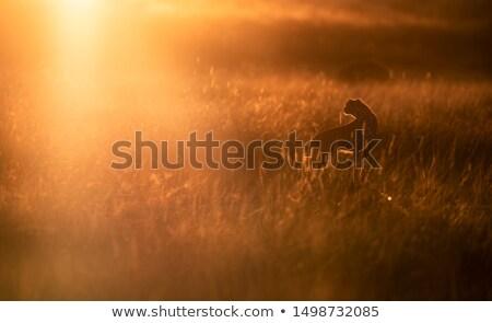 Gepárd naplemente jelenet illusztráció boldog terv Stock fotó © bluering