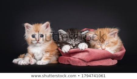 maine coon cat kitten sitting in a basket Stock photo © CatchyImages