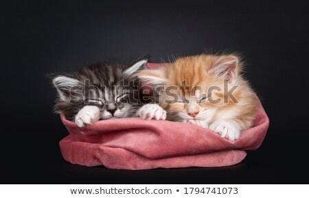 Maine · gatinhos · preto · dois · sessão - foto stock © CatchyImages