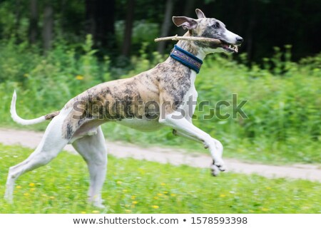 A greyhound in nature Stock photo © bluering