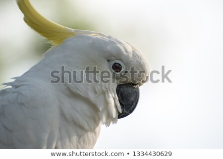 White cockatoo (Cacatua alba) in the tropical forest Stock photo © boggy