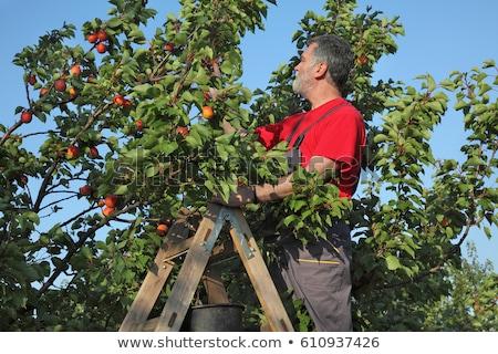 Agriculteur abricot verger fruits Photo stock © simazoran
