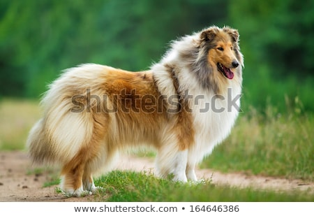 rough collie, scotish shepherd Stock photo © eriklam