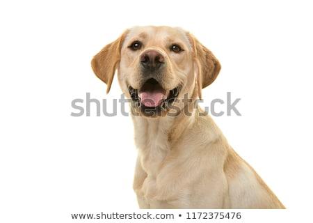 labrador retriever portrait in white background studio stock photo © vauvau