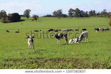 calf on the pasture Stock photo © tarczas