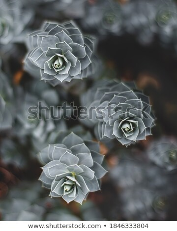 Detail of the Blue Myrtle Cactus Stock photo © boggy