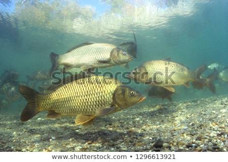 Group of freshwater carp Stock photo © Alex9500