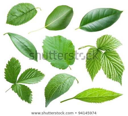 Stock photo: filbert with green leaf