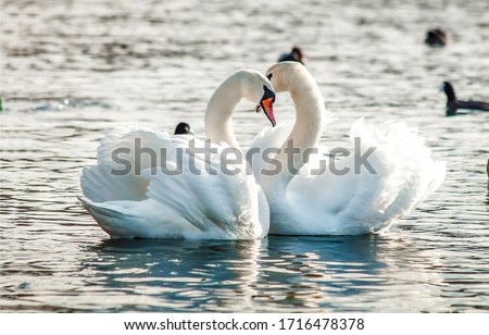 Swan Stock photo © mobi68