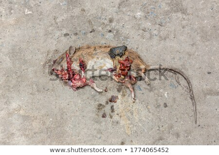 dead rat on the street stock photo © meinzahn