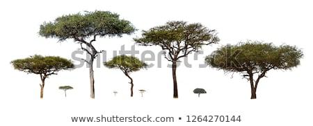 Fa park Kenya természet fény zöld Stock fotó © ajn