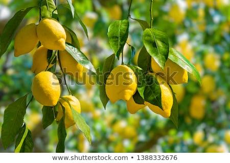 Sarı limon yeşil şube taze Stok fotoğraf © boroda