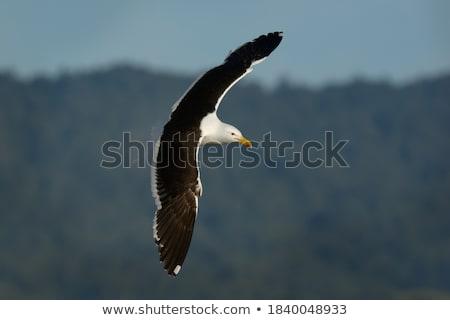 Cape gull Stock photo © dirkr