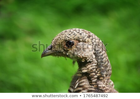 Female Pheasant  Stock photo © rghenry