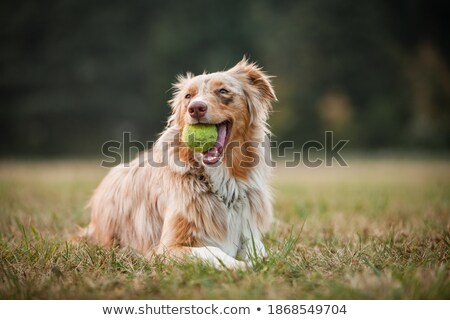 Red Merle Australian Shepherd Puppy playing with tennis ball. Stock photo © yhelfman
