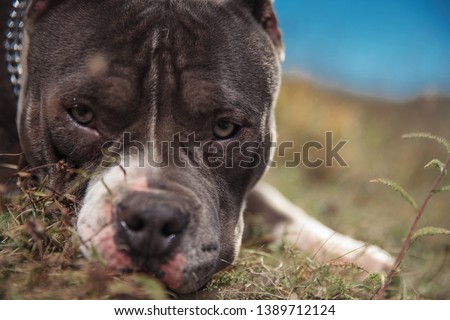 close up of American bully puppy laying down Stock photo © feedough