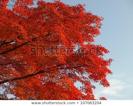 Bordo árvore transformar folhas vermelho outono Foto stock © galitskaya