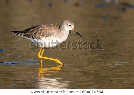 Greater yellowlegs bird  Stock photo © 3523studio