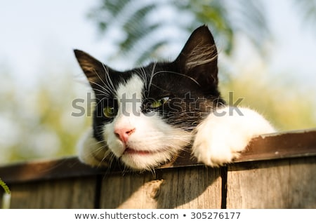 White Cat on a Fence Stock photo © rhamm