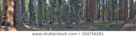 árbol panorama secoya cielo madera azul Foto stock © weltreisendertj