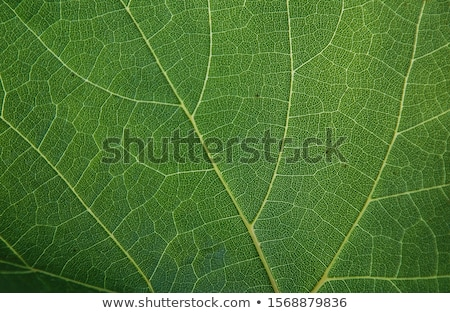 beautiful structure of leaves Stock photo © meinzahn