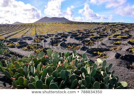 La geria, wine agriculture in Lanzarote Stock photo © meinzahn