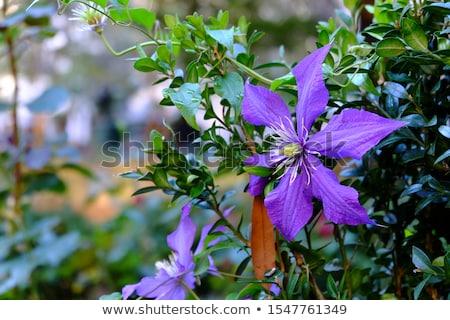 mor · çiçek · taze · sabah · çiy · su - stok fotoğraf © ximinez
