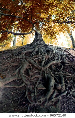 tree roots closeup Stock photo © Klinker