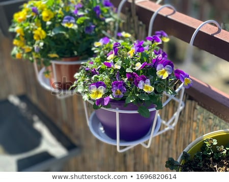 Stock photo: Hanging flowerpots with viola