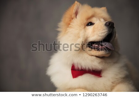 close up of excited chow chow with bowtie looking up stock photo © feedough