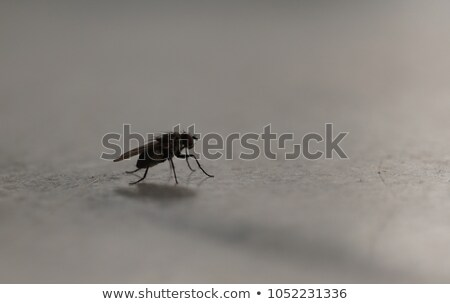 iridescent house fly in close up Stock photo © gewoldi