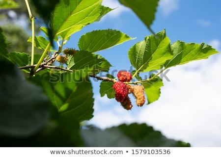Mulberry tree leaves Stock photo © bbbar