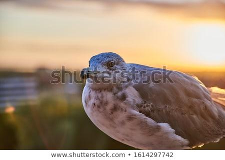 voador · gaivotas · oceano · céu · nuvens · pássaro - foto stock © ruzanna