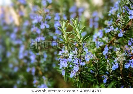Rosemary Plant Stock photo © anshar