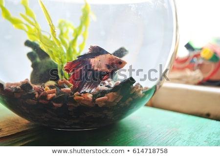 Stock photo: Betta Fish Bowl