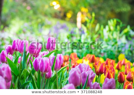 tulips in the spring garden stock photo © julietphotography