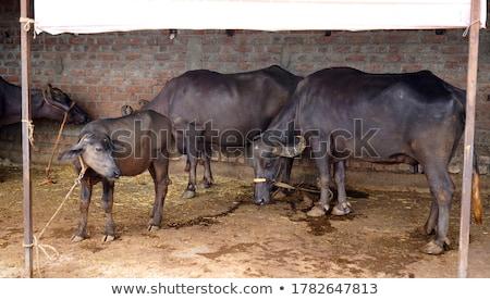 Indian baffalos in village Stock photo © ziprashantzi