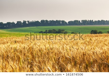 Wonderful golden wheat field. Stock photo © lypnyk2