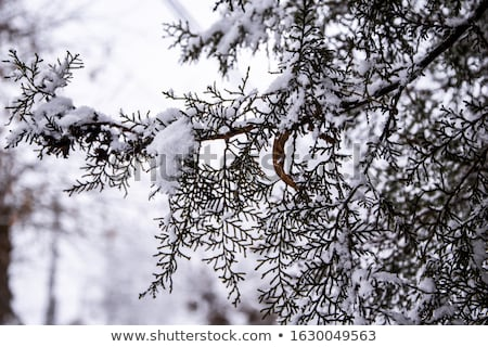 Spruce branch covered with snow. picture frame Stock photo © Valeriy