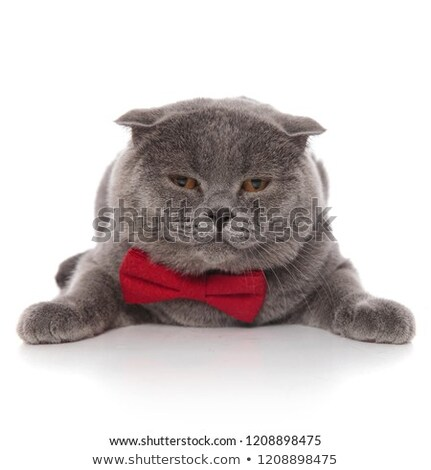 sad scotish fold wearing a red bowtie lying Stock photo © feedough