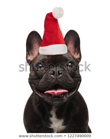 close up of panting santa french bulldog Stock photo © feedough