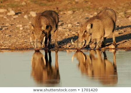 warthogs at a waterhole Stock photo © prill